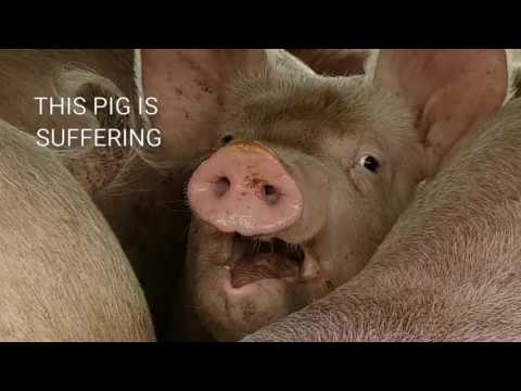 This Pig is Suffering