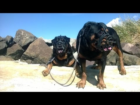 MUZZLED ROTTWEILER FREAKS OUT WHEN HE SEES PIT BULL
