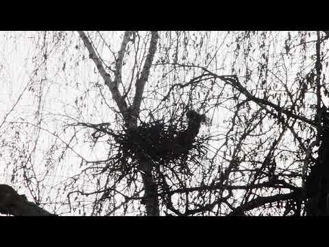 Elstern Beim Nestbau