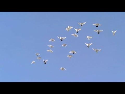 Появился тетеревятник голуби в небе