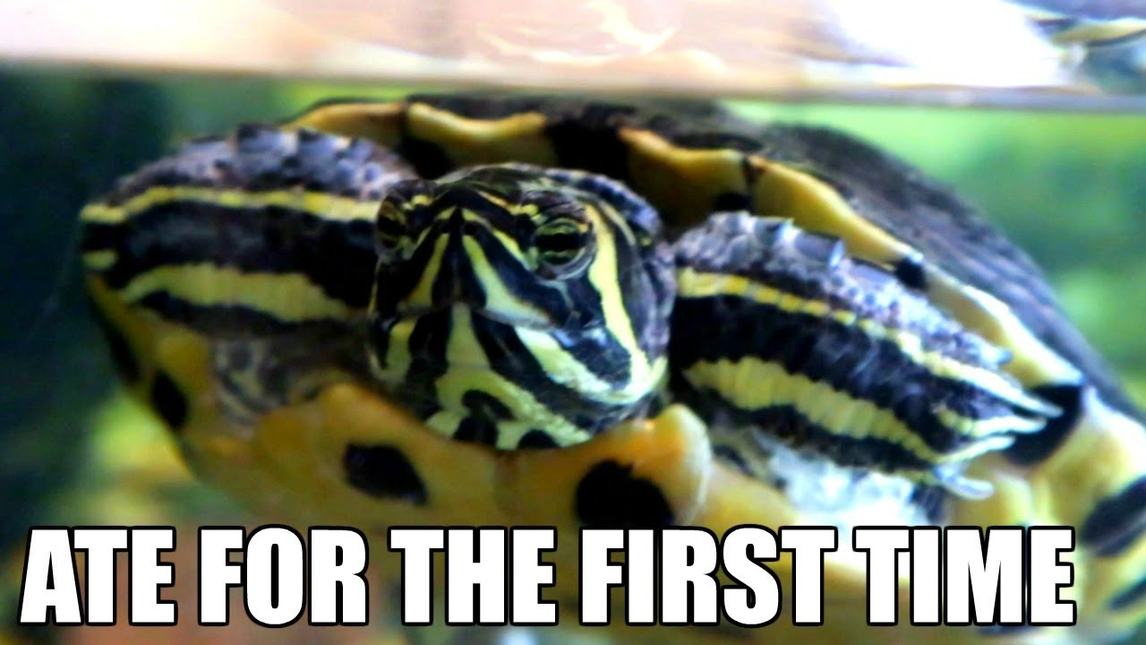 the-turtle-i-rescued-ate-for-the-first-time-in-months-turtle-update