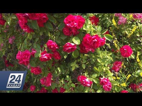 Мангышлакский ботанический сад планирует выпускать эфирное масло из роз