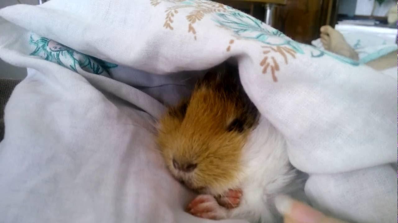 как спит морская свинка фото