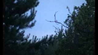 Nightjars at Frensham, southern England.