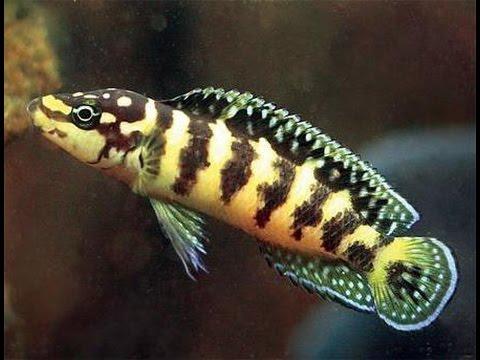 редкие аквариумные рыбки из Танганьики. Юлидохромис Марлиера, Julidochromis marlieri