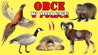 OBCE i INWAZYJNE Zwierzęta w Polsce