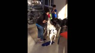 Devon The Dalmatian Playing Fetch With His Boy
