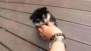 The Cutest Blacktan Pomeranian
