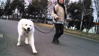 おまけ。ピレネー犬の銀之丞.