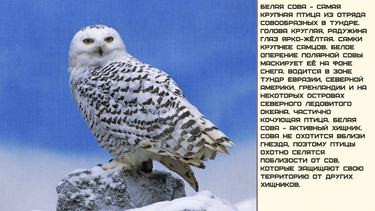 Полярная сова и описание для детей 77