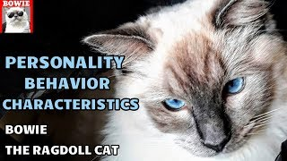 Behavior, Personality Traits,  Characteristics of Ragdoll Cat Bowie
