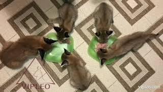 VIPLEO®. Кормление котят каракет. Caracat.