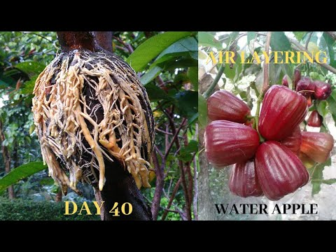 Water Apple (Jambu) Air Layering Propagation - How To Air Layer Water Apple Trees