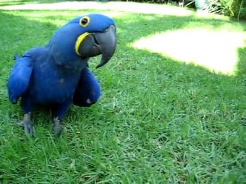 blue parrot hyacinth macaw chases girl youtube
