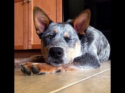 Dog Tricks! | Blue Heeler Puppy Showing Off Some Smarts