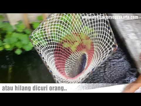PEMANFAATAN LAHAN SEMPIT SEKITAR RUMAH ikan gurami usia 10 bulan