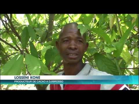 Agriculture Djibrosso: le cacao et l