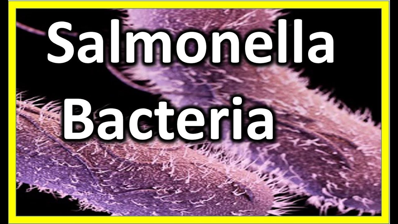 Image result for salmonella bacteria