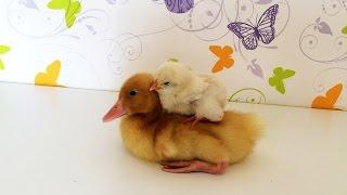VLOG Утенок с цыпленком бегают по всей квартире Уточка  Рози готовиться купаться в ваной
