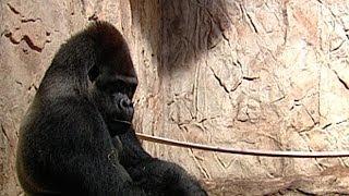 Najpiękniejszy goryl mieszka w Polsce! (TVP Info, 17.11.2013)