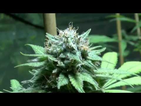 Spectrum King LED Light Med+ Cannabis Grow 2015 Pt 9