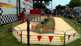 Pig Races I