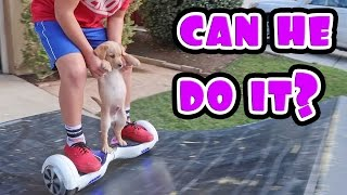 Repeat youtube video PUPPY ON HOVERBOARD!