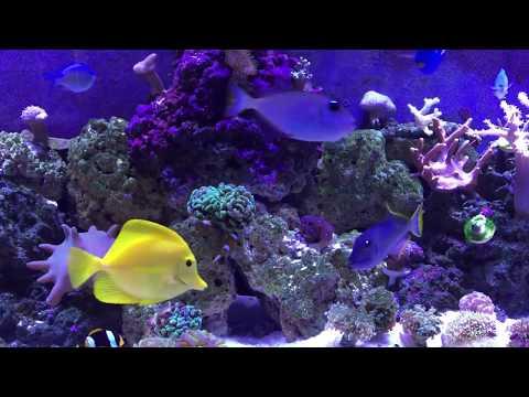 07/23/2017 Overstocked Blue Throat Triggerfish Pair In 55 Gallon Mixed Reef Saltwater Fish Aquarium