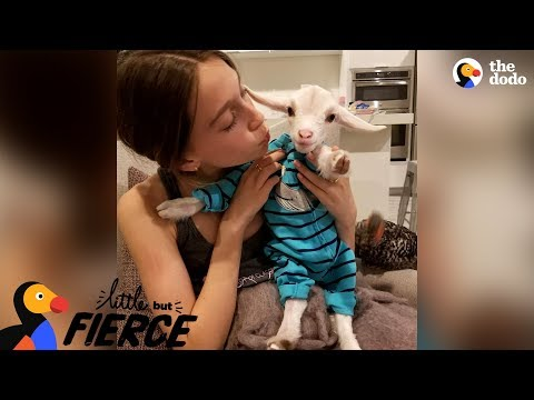 Heather Burnside - Paw Purr Azzi: This Baby Goat Is Pretty Sure He's A Dog