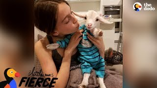 Baby Goat Is Pretty Sure He's A Dog | The Dodo Little But Fierce thumbnail