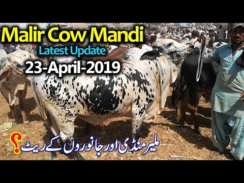 Malir Cow Mandi Karachi Latest Update 23-April-2019 - Cow Mandi Karachi Cattle Rate