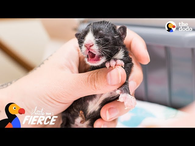 Kitten Who Needed An Incubator To Survive Grows Up To Be A Spitfire   The Dodo Little But Fierce