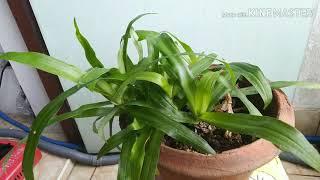 Herb,Beijing grass,Angel grass YouTube Videos