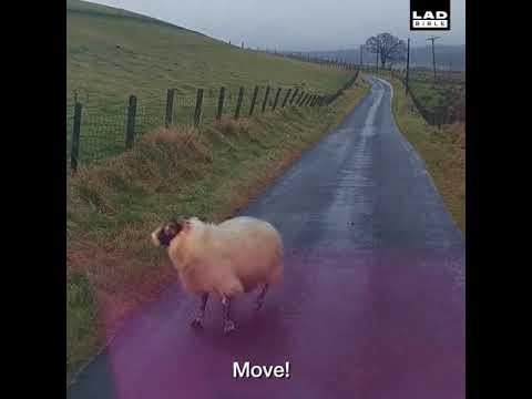 Angry Scottish man vs Sheep = Greatest road