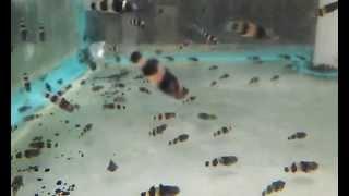 Acuario Aquatarkus - Gobio abeja