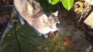 Niemiecki Kot