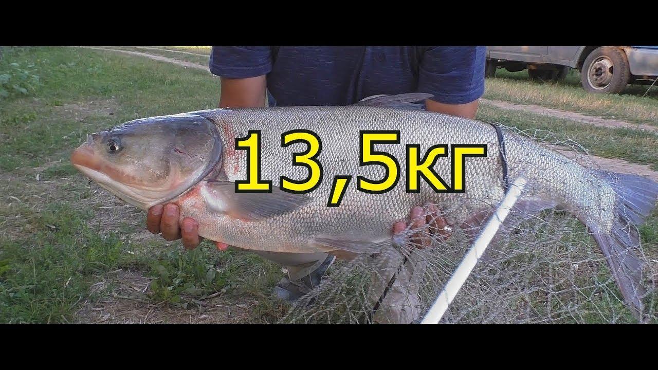 Ловля толстолоба на снасть - резинка. My fishing
