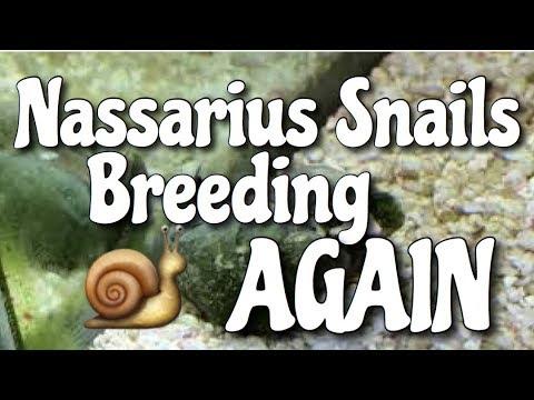 Nassarius Snails Breeding AGAIN