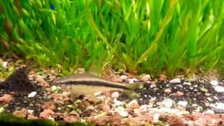 Hobihanem - Sae (Yosun Yiyici) Balıkları Hakkında Bilgiler