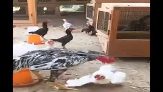 Stupid little rooster gets KO'd by a rooster twice its size!!!