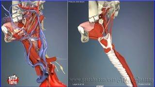 Глотка и гортань, строение (горло) | 3D Анатомия человека | Внутренние органы
