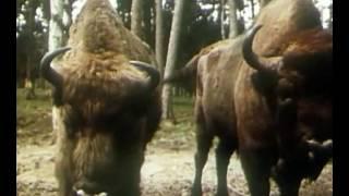 В объективе животные.  Зубр 1981г.