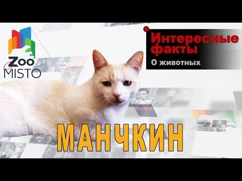 Манчкин Интересные факты о породе   Кошка породы манчкин