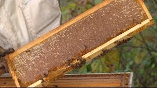 Checking the Fall Bees for Honey