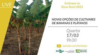 Novas opções de cultivares de bananas e plátanos