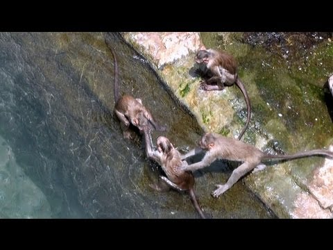 Monkeys swimming in pond, Yaganti Temple