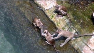 Monkeys swimming in pond, Yaganti Temple