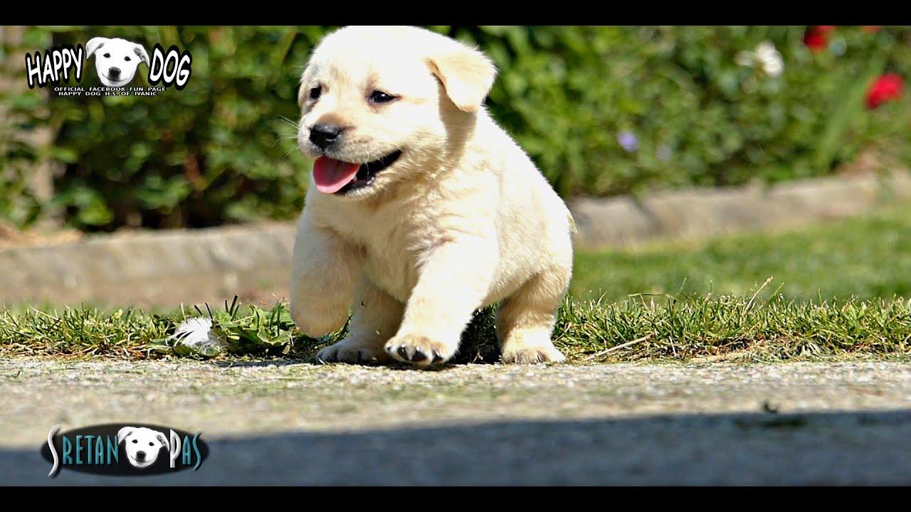 labrador welpen 4 s e hunde videos von happy dog labrador retriever welpen labrador tenci. Black Bedroom Furniture Sets. Home Design Ideas