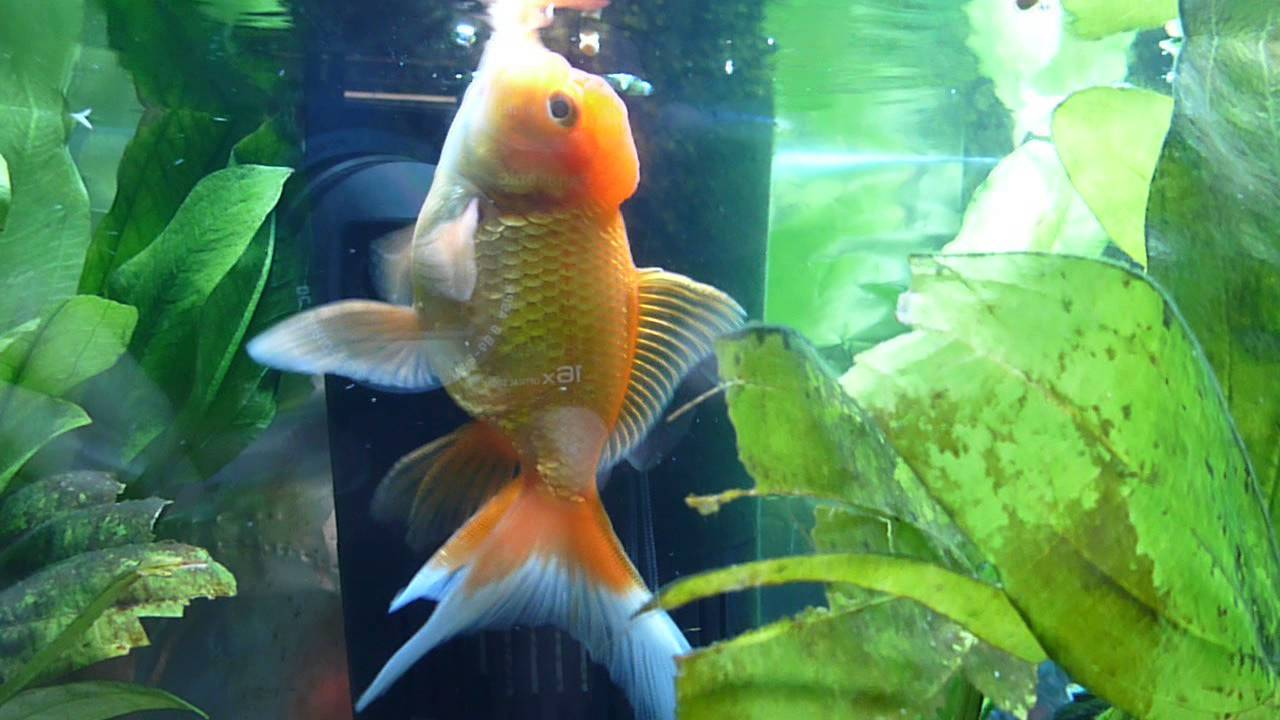 oranda and fantail goldfish with live plants youtube