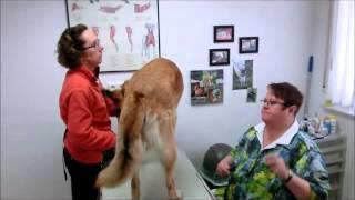 Apprentissage médical pour chien agressif :  prise de sang